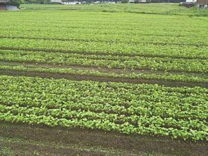 そばの豆畑